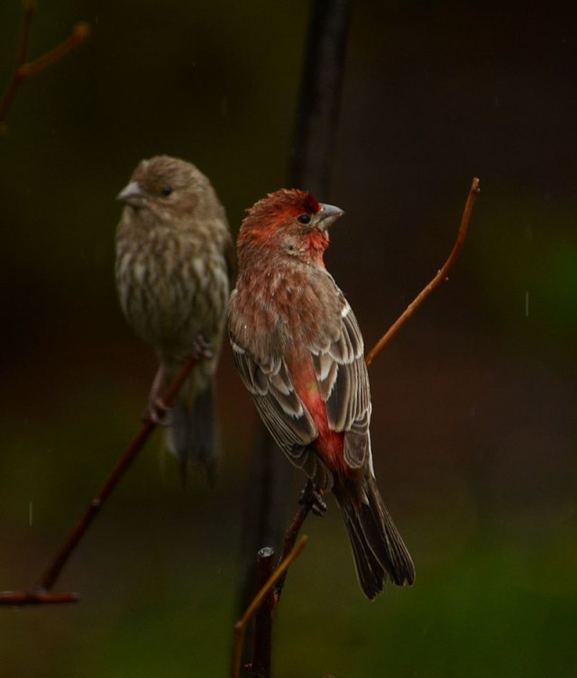 Pair-House-Finches