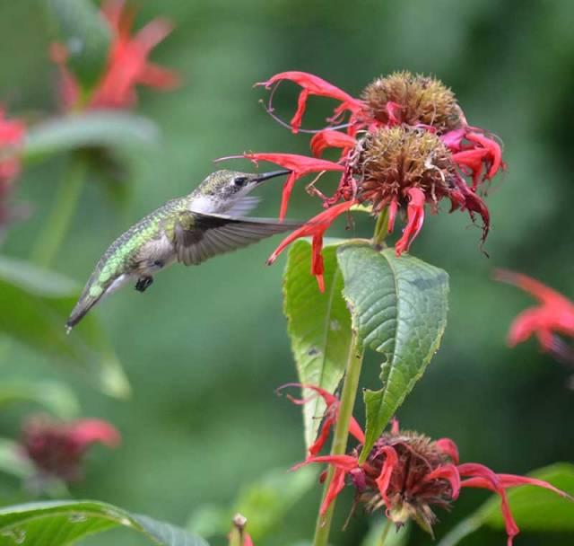Ruby-throated-Hummingbird-1