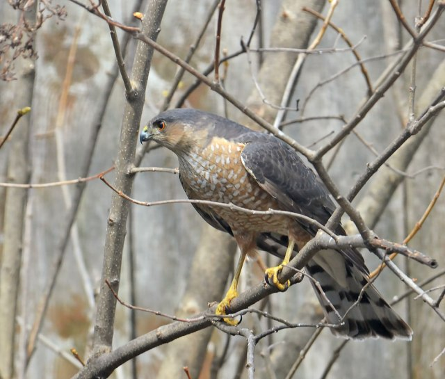 Sharp-shinned-Hawk4-7-15