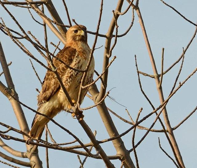 Young-Hawk
