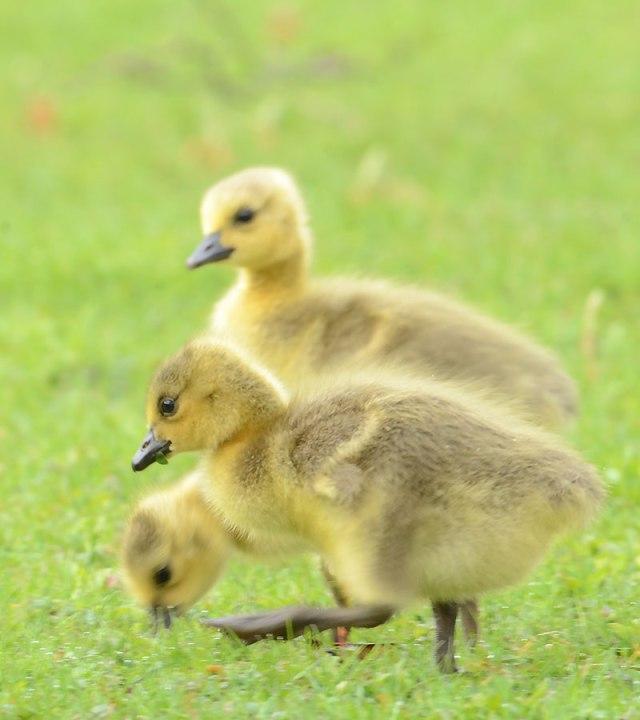 3-Canada-Goose-Babies-1