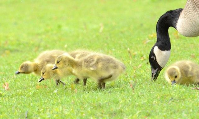 4-Canada-Goose-Babies