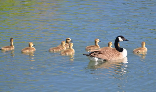 9-Canada-Goose-babies