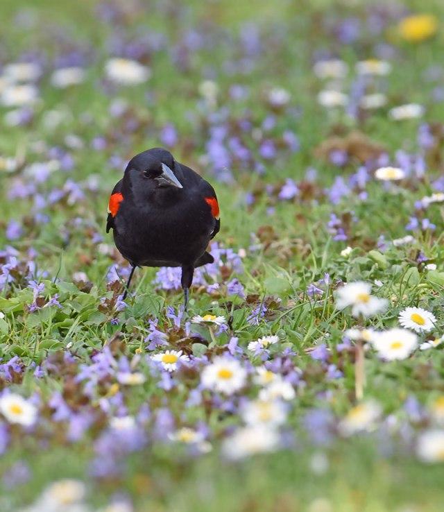 Blackbird-1