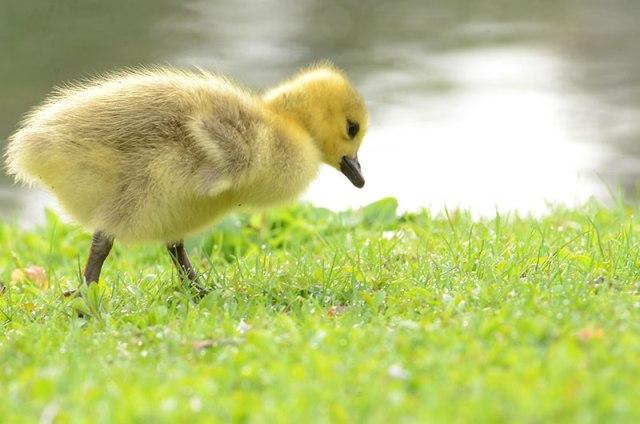 Canada-Goose-Chick