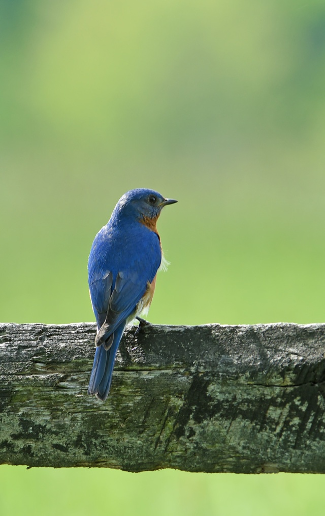 Male-Bluebird