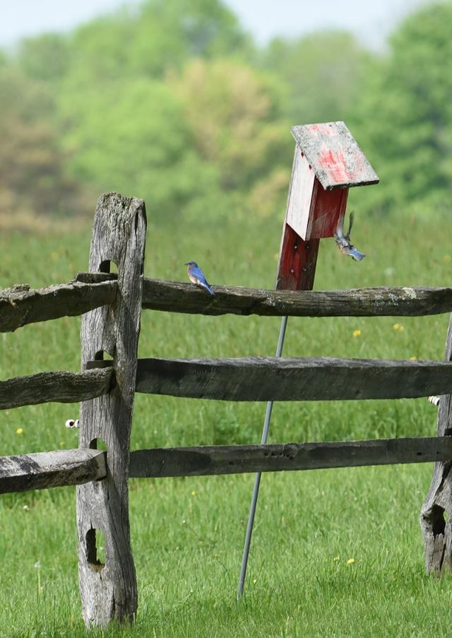 Nesting-bluebirds