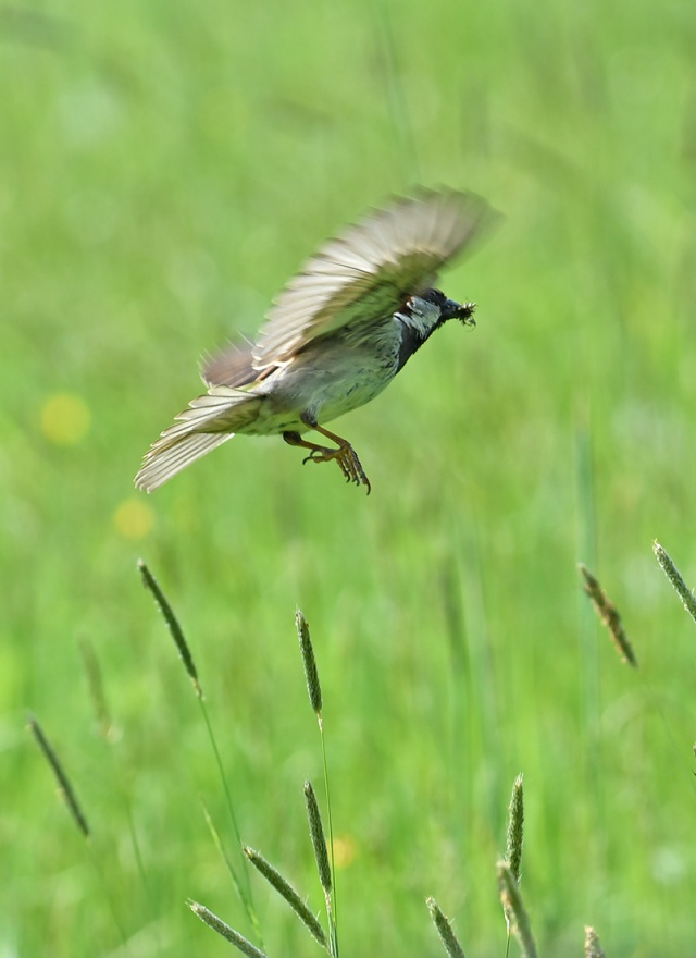 Nesting-Sparrow