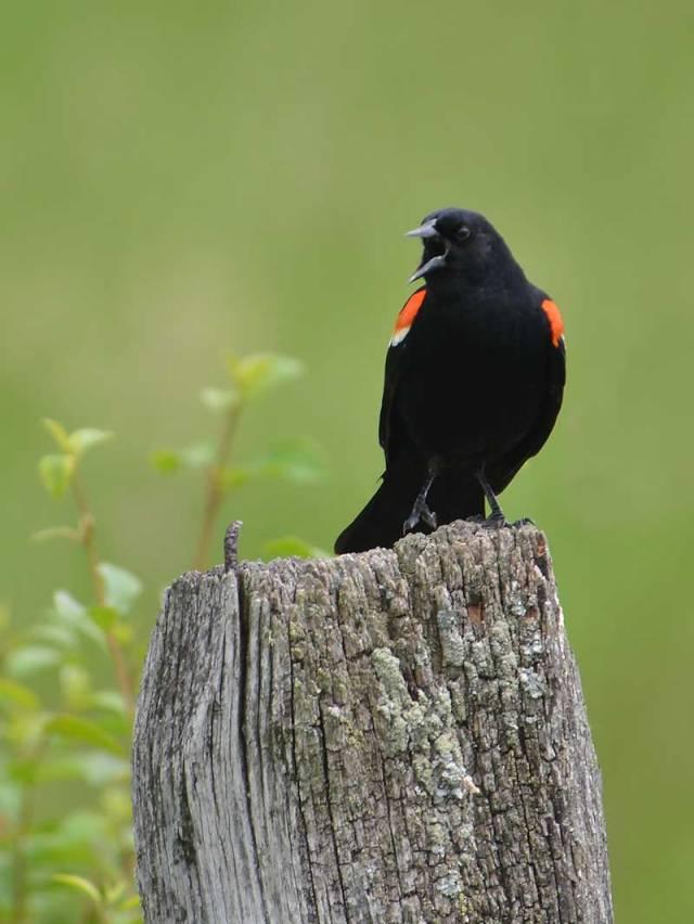 Singing-Blackbird