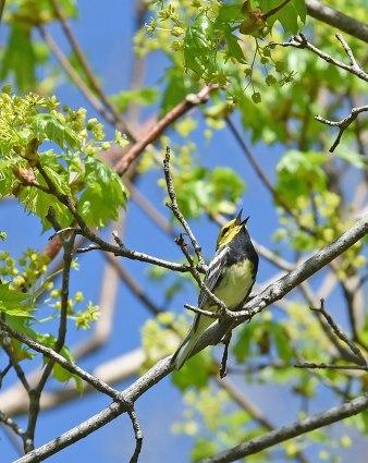 Singing-Warbler