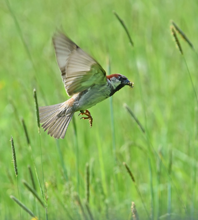Sparrow-Nesting