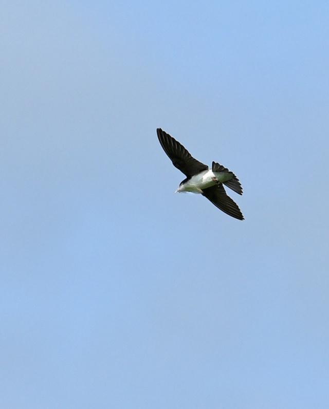 swallow-Nesting