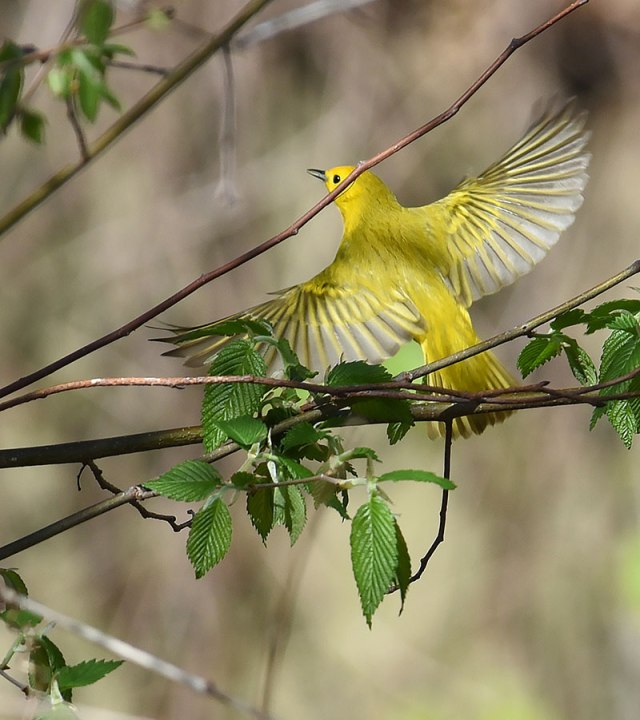 Yellow-Warbler-Flying