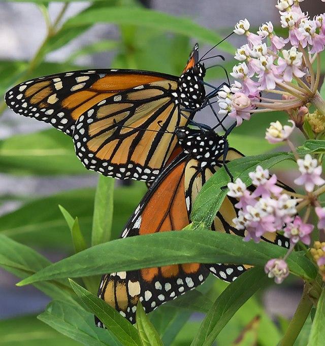 2-Monarchs