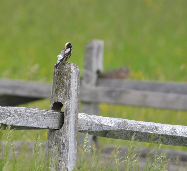 bobolink-on-fencepost-3
