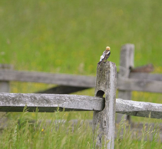 bobolink-on-fencepost