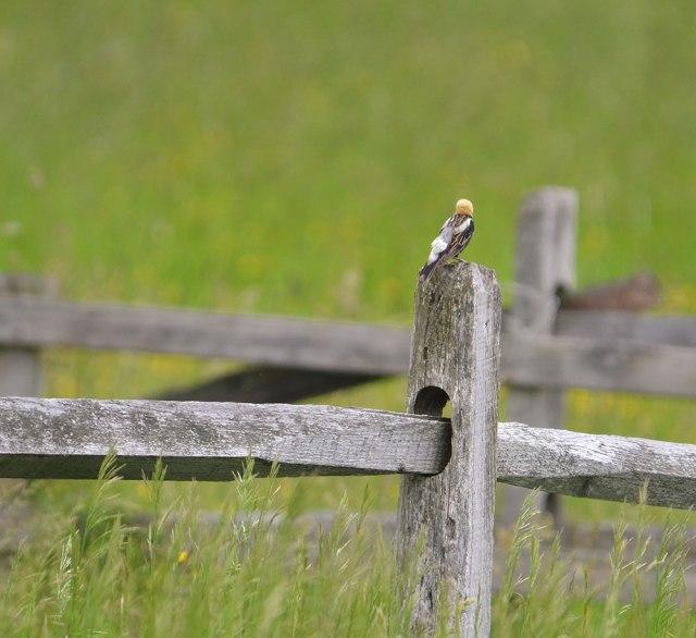 bobolink-on-fencepost