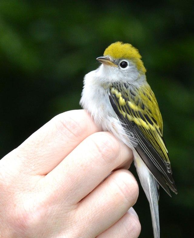 Chestnut-sided-Warbler