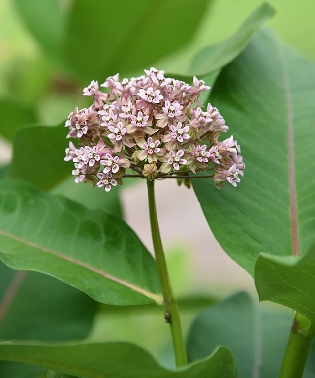 Common-Milkweed