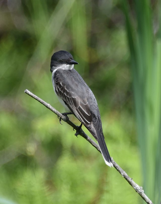 Eastern-Kingbird-0