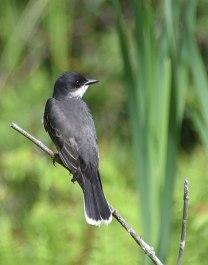 Eastern-Kingbird-1