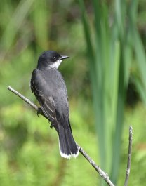 Eastern-Kingbird-1