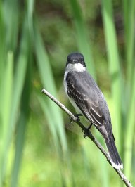 Eastern-Kingbird-2