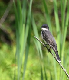 Eastern-Kingbird-4