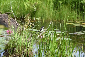 KEastern-Kingbird-Habitat