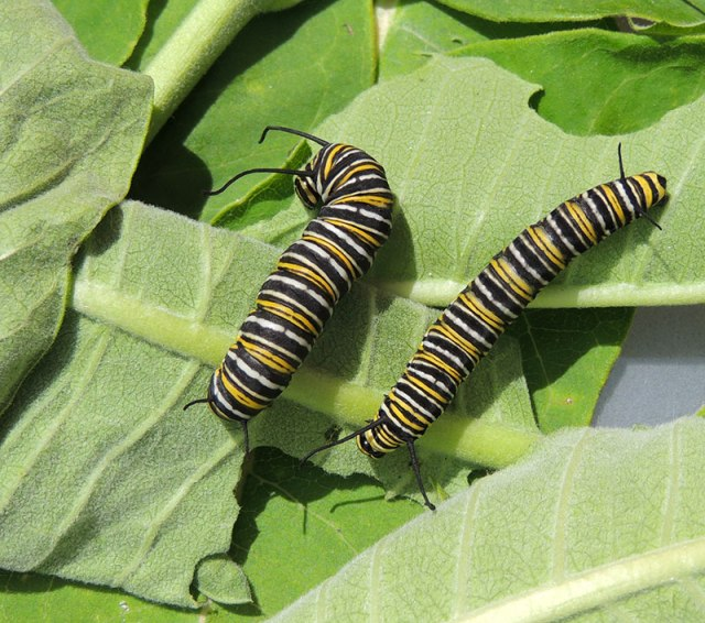 Monarch-Caterpillars