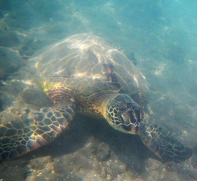 Sea-Turtle-1