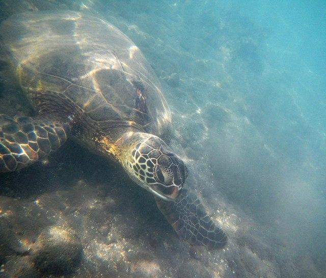 Sea-Turtle-Maui