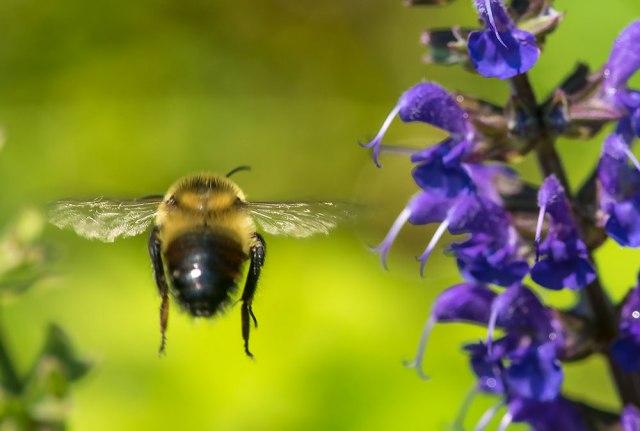 Bee-Butt-in-Flight