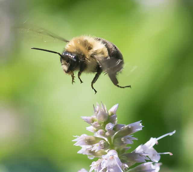 Bee-in-flight