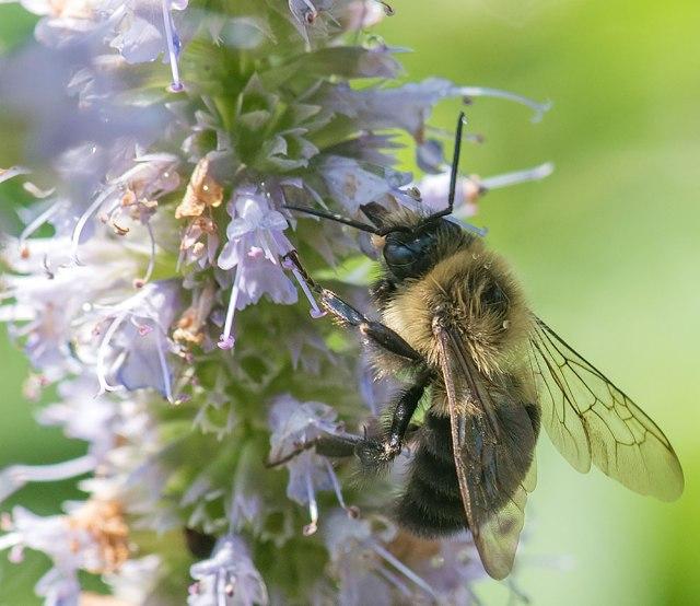 Bee-on-Agastashe