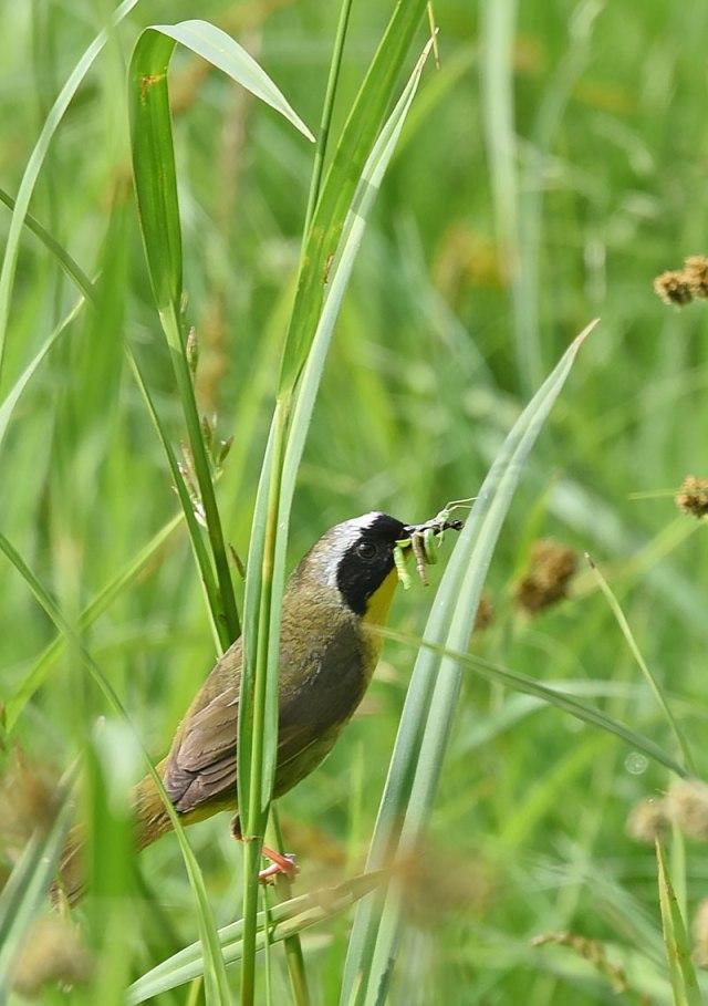 Common-Yellowthroat-0