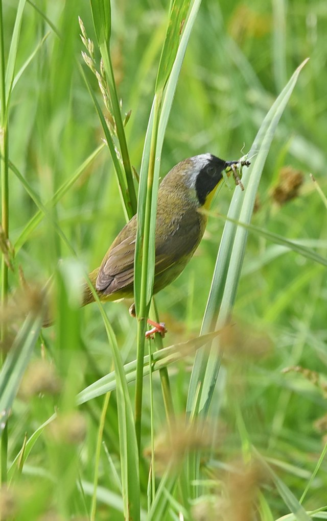 Common-Yellowthroat-1