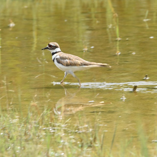 Killdeer at the Airshow