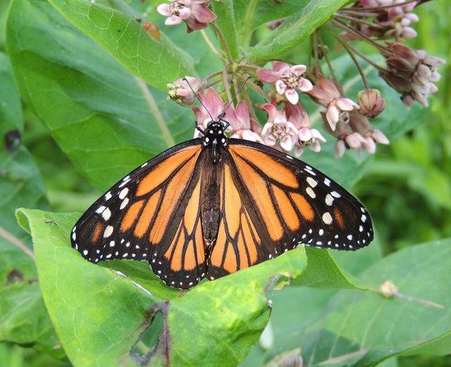 Monarch7-2-15