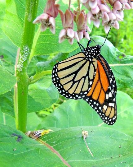 Monarch7-3-15-1