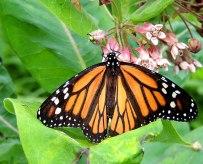 Monarch7-3-15