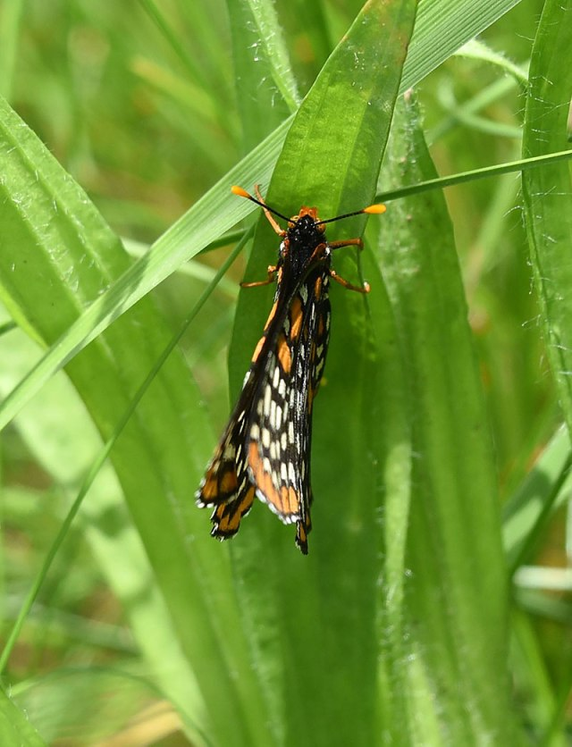 Baltimore-Checkerspot-0