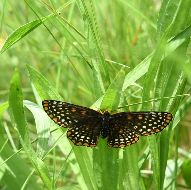 Baltimore-Checkerspot-1