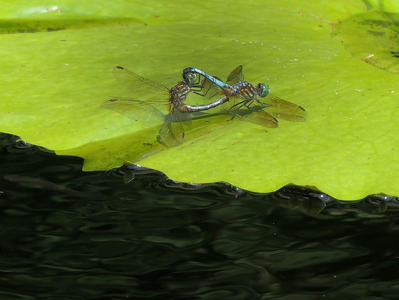 Dragonflies Mating at the Lilypad