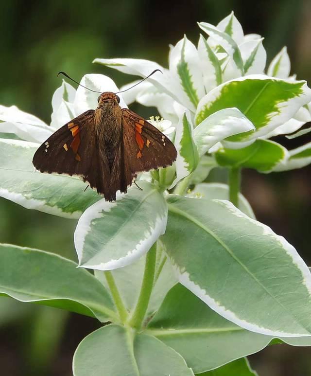 Epargyreus-clarus
