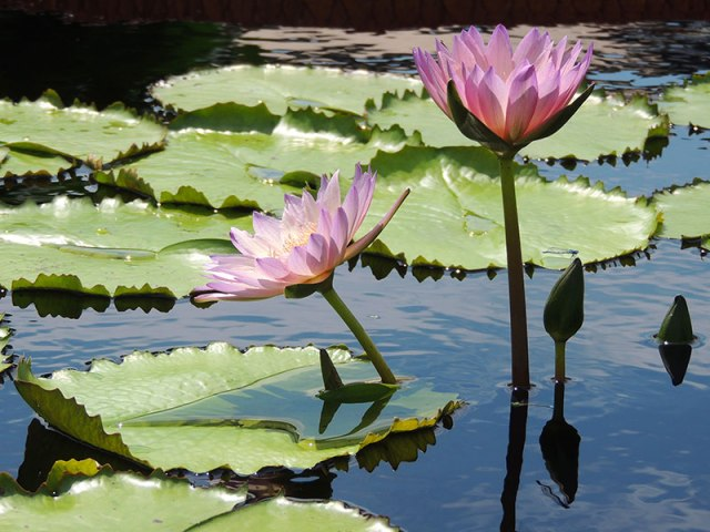 Lilypad-Flowers