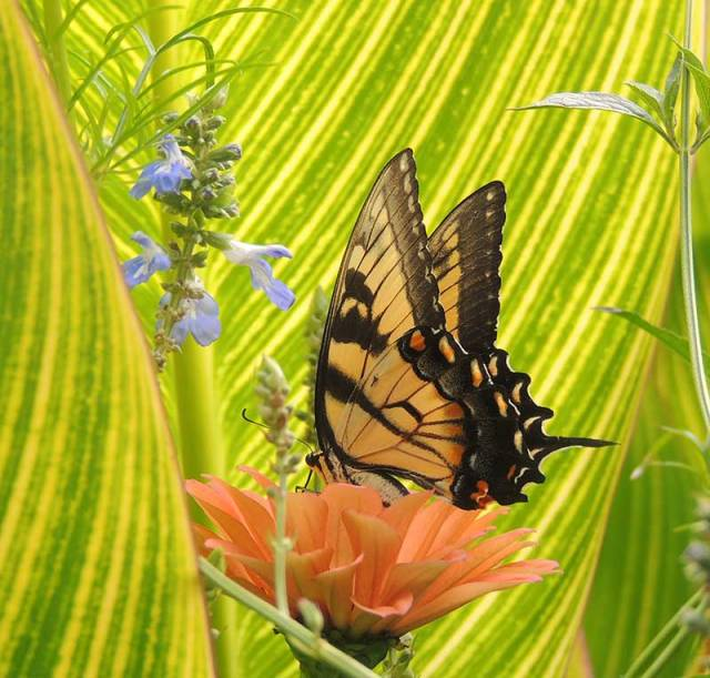 Tiger-Swallowtail-1