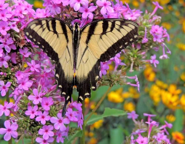 Tiger-Swallowtail-2
