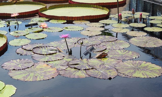 Tropical-Day-Flowering-Waterlily