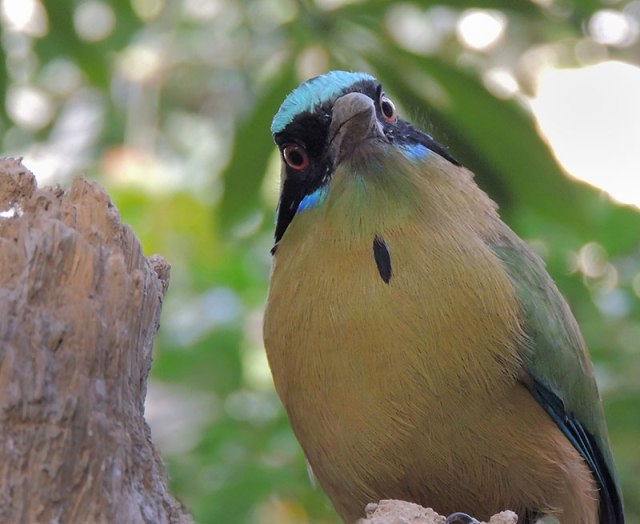 Turquoise-browed-Motmot-from-Costa-Rica
